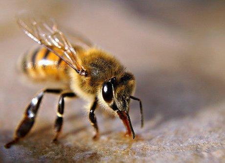 Kijktip: verbod landbouwgif helpt onvoldoende tegen massale bijensterfte