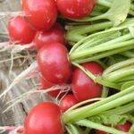Ook radijzen zitten vol carotenoïden. Bron: Susan E Adams, Flickr