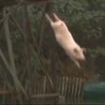 duikend varken. Foto: still uit youtube video
