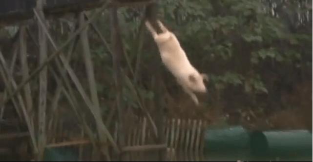 zwemmen met varkens bahamas