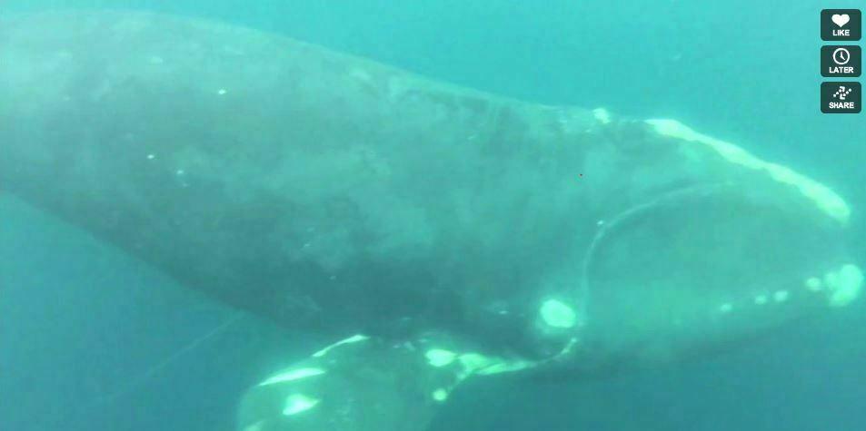 Kijktip: mannen redden walvis die verstrikt zit in vislijnen