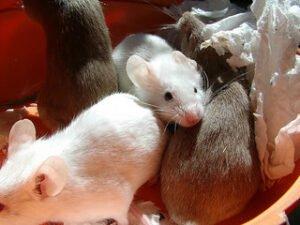 Suiker is ongezond, ook voor muizen. Foto: Ruud Hein Flickr