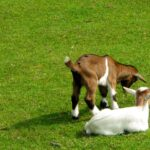 Wakker Dier strijd voor meer geiten in de wei. Foto: Till Westermayer, Flickr