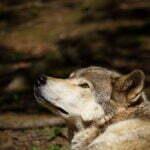 Een wilde wolf. Foto: wikimedia commons