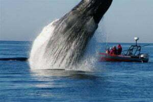 De walvis Grommet maakt sprong van blijdschap. Foto: Pirate's Cove Whale and Seabird Cruises, Facebook