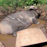 Dierenwelzijn: lekker in de modder wroeten. Foto: crabchick