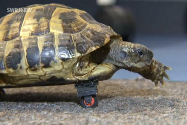 Kijktip: Schildpad kan weer bewegen dankzij wiel van lego