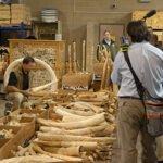 In beslag genomen ivoor. Foto: USFWS, Flickr