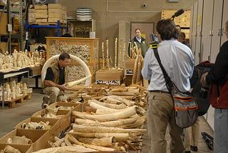 Recordhoeveelheid ivoor in beslag genomen in 2013