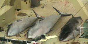 Sea Sheperd vindt walvisjagers. Foto: still uit youtube video