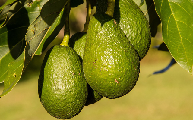 Kweek je eigen avocadoboom in 6 stappen