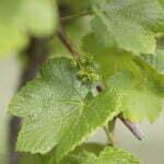 Blad van een druivenplant. Foto: Walt Stoneburner Flickr.