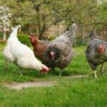 In Nederland vind je zulke kippen bijna alleen in privétuinen. Bron: The Garden Smallholder, Flickr