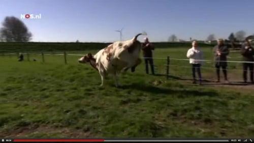Kijktip: koeien gaan dansend voor het eerst de wei in