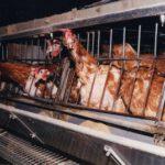 Het vreselijke leven van kooi- en legbatterij kippen Foto: Compassion in World Farming, Flickr.