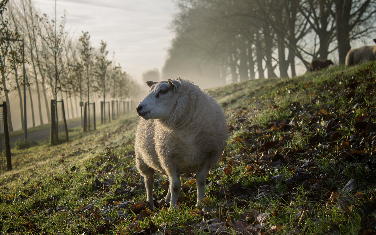 Kudde schapen houdt bermen in stad Groningen kort