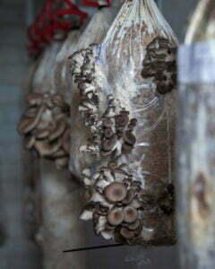 Paddestoelen van rotterzwam. Foto: Ebbie & Ivy