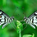 Vlinders. Foto: Prabhu Doss, Flickr