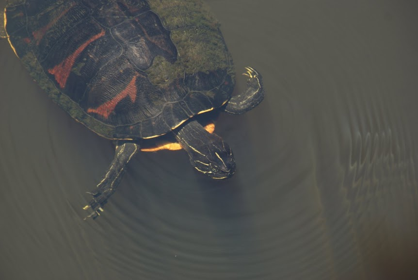 Kijktip: Eerste babyschildpadjes naar zee