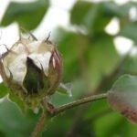 Biologische katoen. Foto: indiawaterportal.org, Flickr