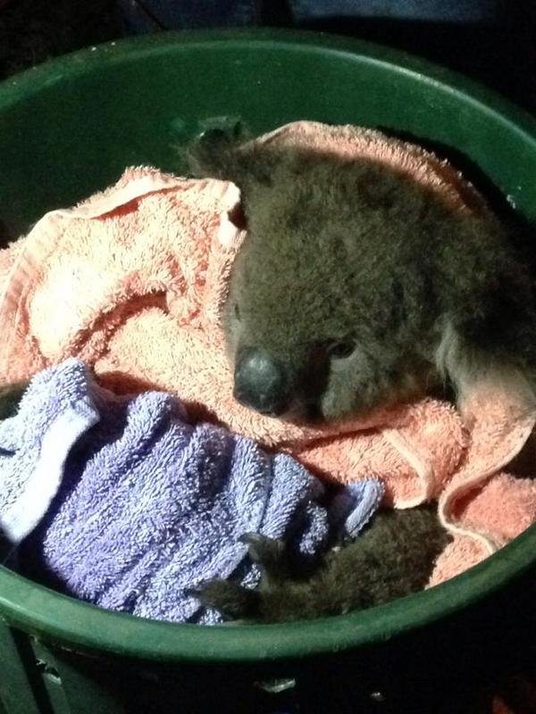 Koala Chimpsalot. Foto: Incident Alert, Twitter