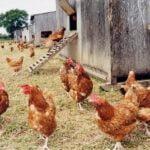 Bioboeren: Kippen op een biologische boerderij. Foto: Compassion in World Farming, Flickr