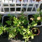 Tuinieren op een balkon. Foto: Cashew / Stadstuinieren
