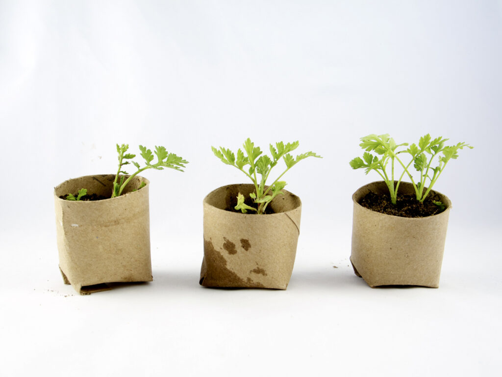 Toilet_paper_seedlings_cup_3