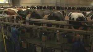 De gevolgen van het loslaten van het melkquotum. Foto: Zembla