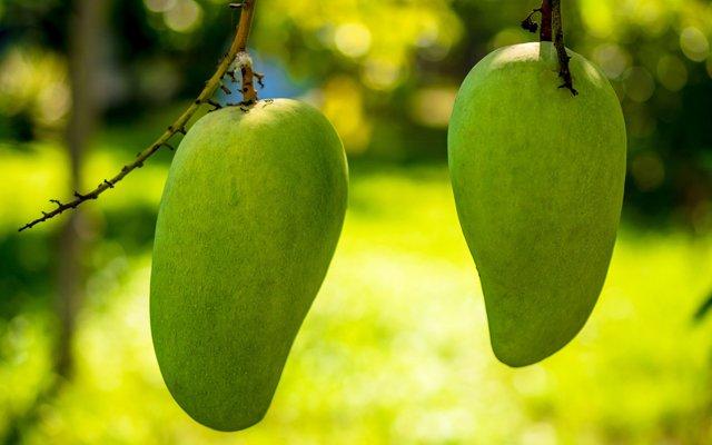Zelf een mangoboom kweken met een overgebleven pit