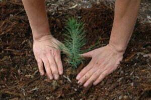 Seedling Planting ©USFS Region 5, Flickr, CC BY 2.0.