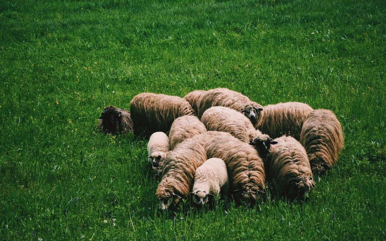 Een interview over de opleiding tot schaapherder (deel 2)
