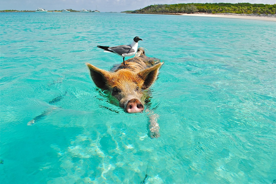zwemmend varken is ontsnapt aan intensieve veehouderij