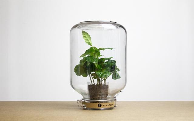 Populaire kamerplanten - pikaplant