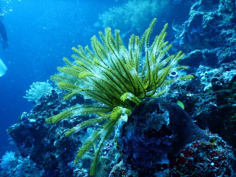 Koraal zaaien met behulp van 'koraalcouveuses'