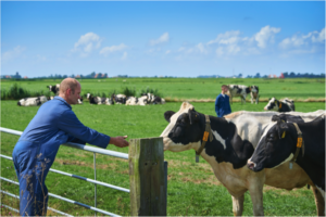 boer met koeien in de wei