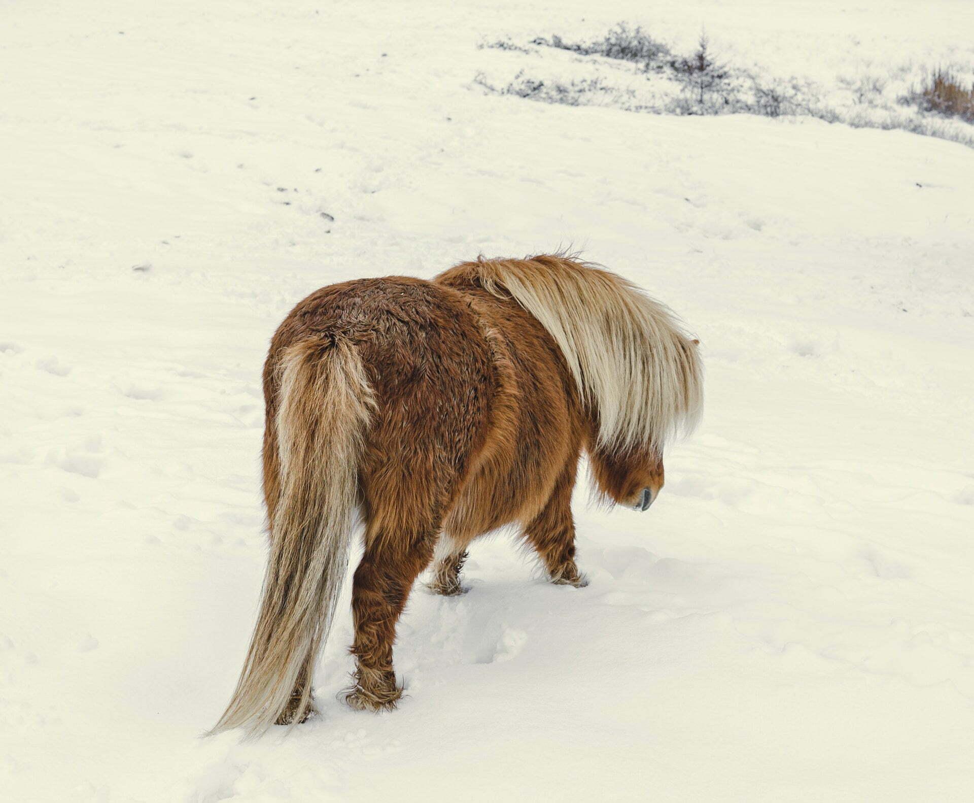 kleine paarden klimaatverandering