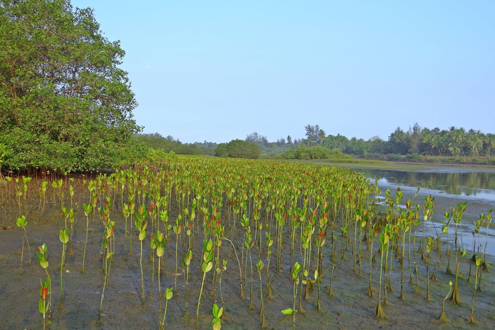 mangroves in Myanmar