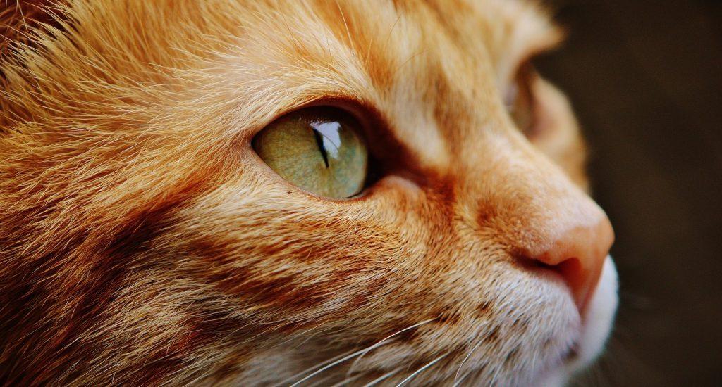 CBD olie voor katten