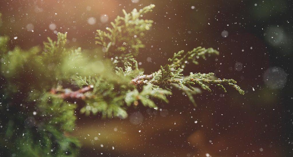 Pixabay (kerstbomenbos)